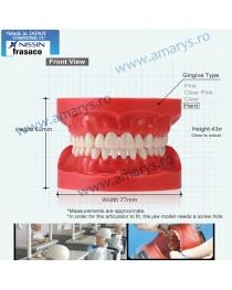 Arcada dentara model Phantom 28 dinti rasina